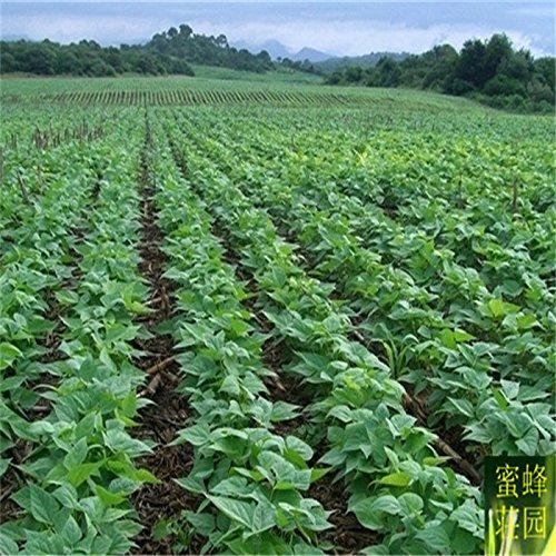 gros haricots noirs graine haricots noirs haricots verts cœur gros légumes 20 graines (HEI) Dou
