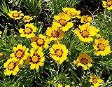 Mädchenaugen - Coreopsis lanceolata - 500 Samen