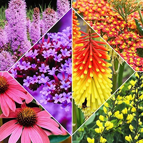 8x Pflanzen für Garten | 8er Stauden Set | Schmetterlinge und Bienen Blumenmischung | Höhe 25-35 cm | Topf-Ø 13 cm