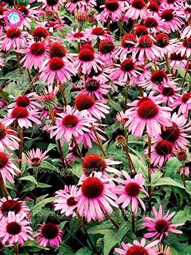 50PCS Rare orange Graines Echinacea vivace Graines de fleurs échinacée Showy Beaucoup-doublé capitules Plante en pot pour le jardin 5