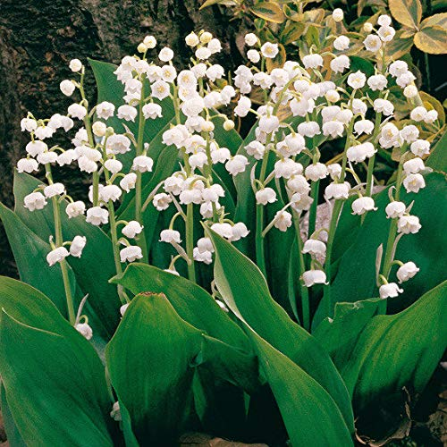 Yukio Samenhhaus - 100 Stück duftend Raritäten Maiglöckchen bunter Blumensamen Multifarben winterhart mehrjährig (10pcs(Nummer SVC031129_3))
