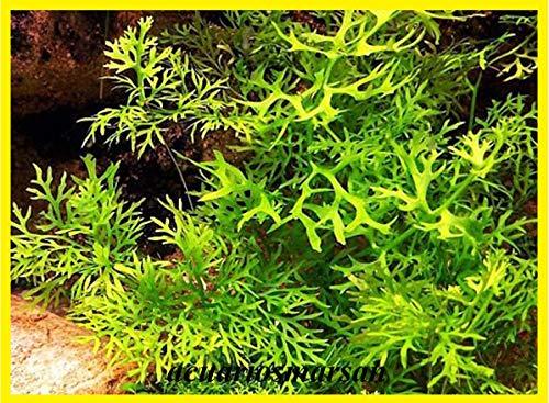 Desconocido Planta de Acuario. Helecho de Sumatra
