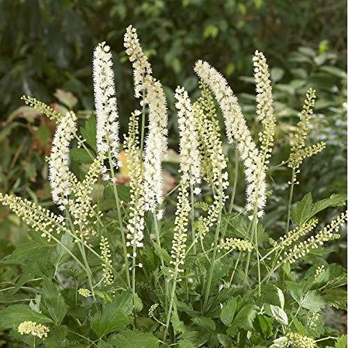 4 x Actaea Simplex 'White Pearl' - Zilverkaars pot 9cm x 9cm
