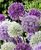 Xuanqin AIL D'ORNEMENT (Allium giganteum) Mélange - violet et blanc - 2 x 50 graines/pack - Résistant au froid d'hiver
