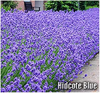 50 x Hidcote Blue Lavender Flower/Herb Seeds - Known for its Rich Essential Oils - Lavandula angustifolia Seeds - by MySeeds.Co