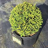 Grüner Garten Shop Taxus baccata Kugel einheimische Eibe in Kugelform ca.30 cm Durchmesser, im 12 Liter Topf