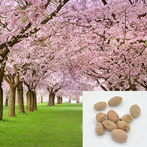 di vendita caldo 10 pz Semi giapponesi sakura orientale di ciliegio in fiore semi Bonsai Piante in vaso per per Flower Pot Fioriere