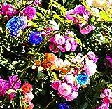 100 Pcs Mixed Climbing Rose Seeds Fragrant Flower Garden Decor Perennial