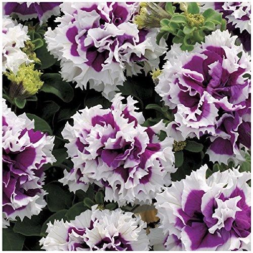 Lot 10 graines de Petunia à fleurs doubles F1 Purple Pirouette - fleurs annuelle