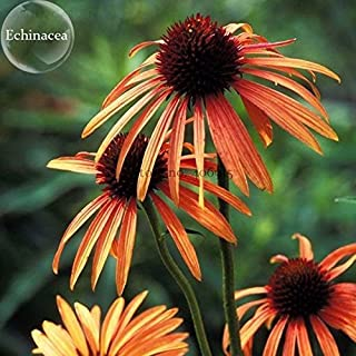 TopOne Sales Green Jewel' Echinacea Lovely Pale Yellow Coneflowers, 100 seeds, rare perennial flowers