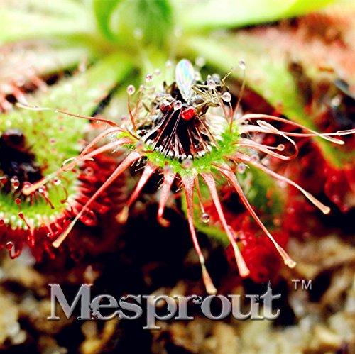 Bonsai Drosera burmanni Seeds Table Bleu Enchantress Plante carnivore Pot protection contre les radiations 100 graines / sac