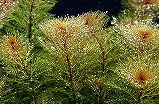 myriophyllum red