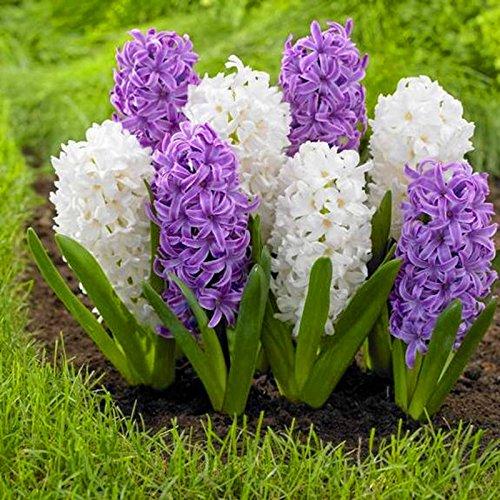 100 PC / bolso semillas Hyacinthus orientalis del jacinto en macetas semillas baratas Bonsai perenne hierba balcón en flor para el jardín de 9