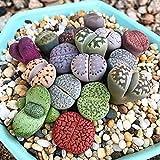 Portal Cool 50pcs granel: 50 / 100X Mixta Raras Lithop Semilla Piedras Vivas Planta carnosa Cactus Orgánica