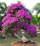 HONIC Bougainvillea Bonsai Piante Colorate bouganville Spectabilis Willd Pianta perenne Flower Garden Bonsai Pianta in Vaso 100 pc/Sacchetto: Altro