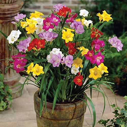 100 Stück Freesien Zwiebeln - Blumenzwiebeln - Freesia einfache Mischung - Grösse 5/6 - SAISONWARE - NUR KURZE ZEIT ERHÄLTLICH