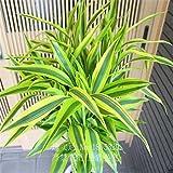 semillas raras 50pcs 11 tipos bambú de la suerte contra la radiación Absorbe semillas del árbol...