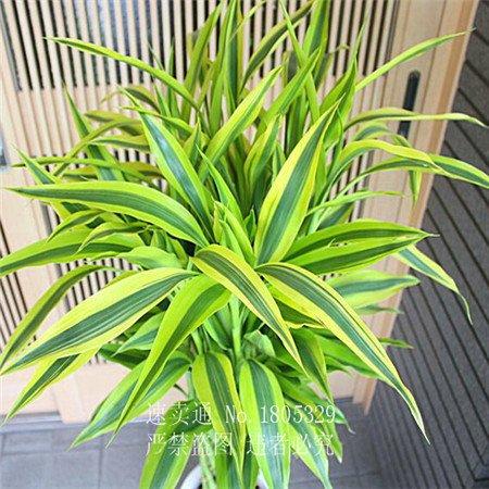 graines 50pcs rares 11 sortes de Lucky Bamboo Anti Radiation Absorber poussière des graines d'arbres