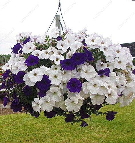 200 Petunia Graines - Graines Petunia Bleu japonais (Ipomoea Nil Bleu- Seeds) bleu foncé avec une étoile pourpre et un bord blanc blanc