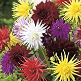 Bulbes de fleurs de haute qualité pour la floraison PRINTEMPS - ÉTÉ - AUTOMNE (5, Mélange Cactus de dahlia 50 cm)