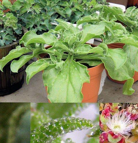 Eiskraut-Eissalat-Eispflanze - Mesembryanthemum crystallinum - Iceplant - 100 Samen
