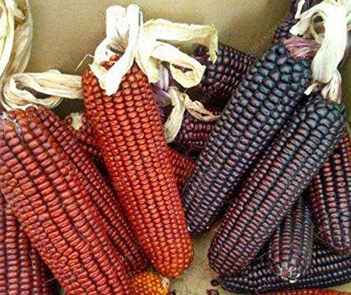 20pcs noir, rouge, arc-en-maïs Semences potagères furit facile de culture biologique Graines de haute qualité pour les légumes jardin à la maison rouge