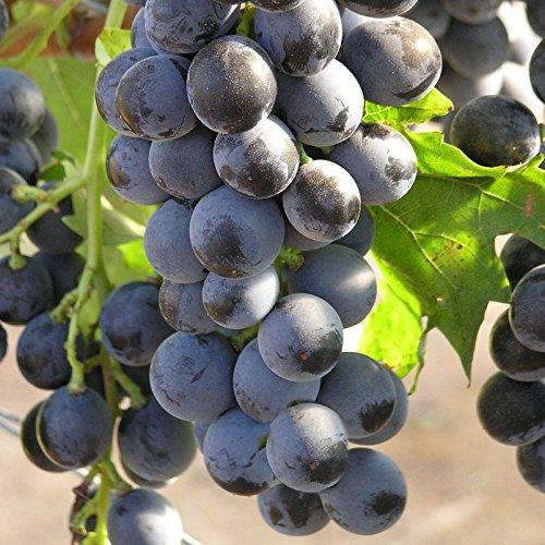 Tafeltraube 'Muscat Bleu®' - blaue Traubenrebe für den Garten - 1 Traubenpflanze von Pflanzen-Kölle im 3 Liter Topf - Vitis vinifera Muscat Bleu