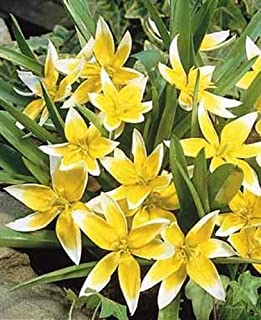 Autumn Bulbs tulipa tarda dasystemon - Pack of 10 Botanical Tulip Bulbs (Dwarf)