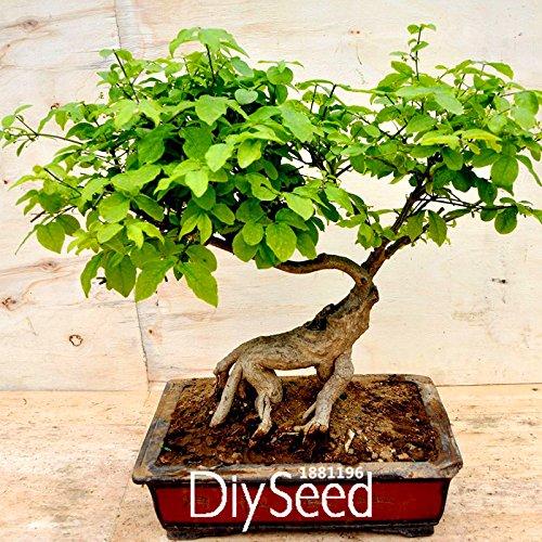 Nuevas semillas frescas 30 PC / paquete chino Bonsai Olmo, semillas de Woody de Jardines Ulmus Pumila Gérmenes del árbol, # Y7KS63