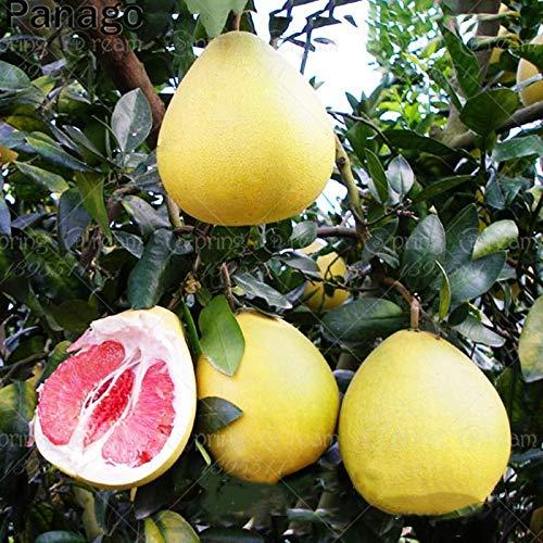 GETSO 20Pcs Red Pomelo Baum Bonsai Red Grapefruit Bonsai Shaddock Fruchtpflanze Staude Couryard Pflanzen Blut Pomelo Für Hausgarten