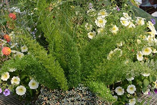 Sandys Nursery Online Fern Foxtail Asparagus Meyeri, Bush Ground Cover, Lot of 2 Starter Plants