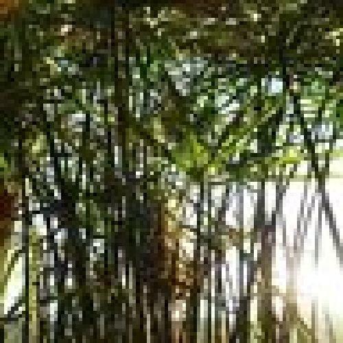 Zyperngrass, Wasserpalme 2 kraeftige unbewurzelte 10-15 cm lange Stecklinge, BIO hu-öko-01