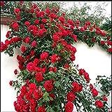 Bunte Strauchrose Kletterrose Rosen Samen