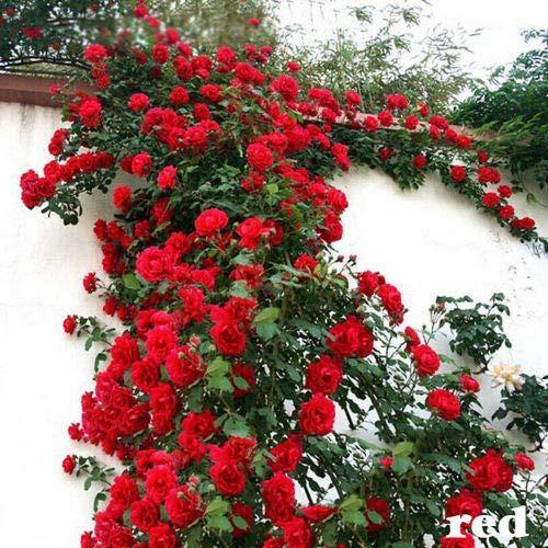 ScoutSeed 200 STÜCKE Rot: 500 Kletterrose Samen Multiflora Staude Duftende Blumen Rot Weiß Lila