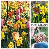 Plant & Bloom - Bulbos de flores, Tulipanes y Narcisos de Holanda – 30 bulbos, plantación en otoño, fáciles de cultivar, floración primaveral – Colores Pastel – Calidad superior