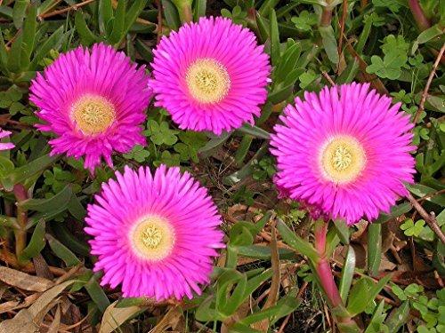 Fresh Carpobrotus rossii Mesembryanthemum Rare (Exotic mesembs suculentas Seed) 20 semillas