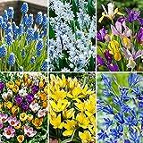 60x Blumenzwiebeln | 6x 10 Frühblüher Mix | Farbenfrohe Blüte | Blumenzwiebeln Frühblüher | Ø 10-11cm