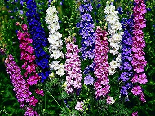 Seeds Rocket Larkspur Delphinium Giant High Tall Mix Annual Outdoor Cut Flowers for Planting Non GMO
