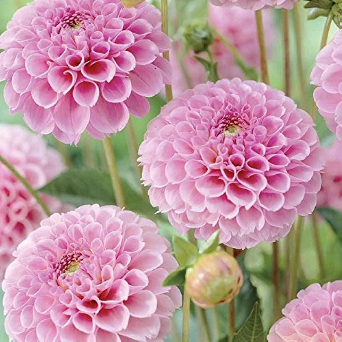 Flower Seeds Dahlia-Pompon Rose Flower Seeds for Home garden-100 Seeds by