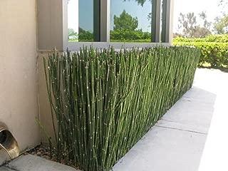 plant live pond horsetail rush cluster 15+ Equisetum hyemale 1-3 feet tall!