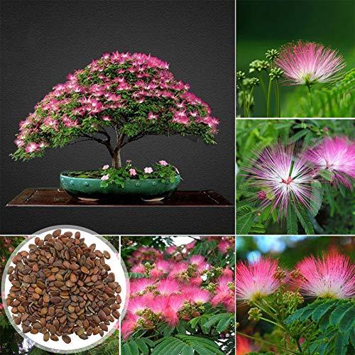 C-LARSS 100 Stück/Beutel Albizia Bonsai-Samen, Kältetolerante, Hartnäckige, Schnell Wachsende Dekorative Samen Für Zu Hause Samen