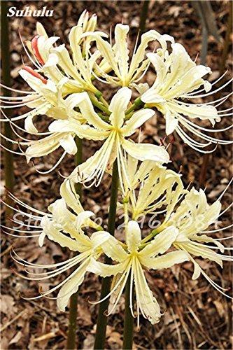 Big Sale! 100 Pcs Red Lycoris Graines Plante en pot Lycoris Radiata Graines de fleurs Plantation vivace intérieur Fleurs Bonsai Graine de plantes 7