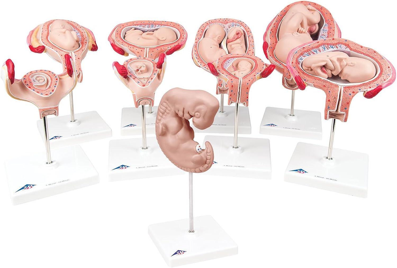 3B Scientific Menschliche Menschliche Menschliche Anatomie - Schwangerschaftsmodellserie (9-er Pack) B01LZ2DILY | Zu einem erschwinglichen Preis  540ec9