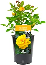 Golden Wedding Rose - 50th Wedding Anniversary Gift - Help Celebrate a Special Couple's Golden Wedding Anniversary with a Unique Living Plant Gift