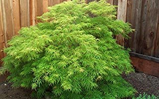 1 gallon, WATERFALL Japanese Maple-a GORGEOUS weeping, Attractive LACE-LEAF foliage, beautiful cascading form, The spring color is a bright almost neon green,fall color ranges from yellow to gold