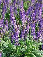 Perennial Farm Marketplace Salvia n. 'May Night' ((Sage) Perennial, Size-#1 Container, Indigo-Purple Spikes