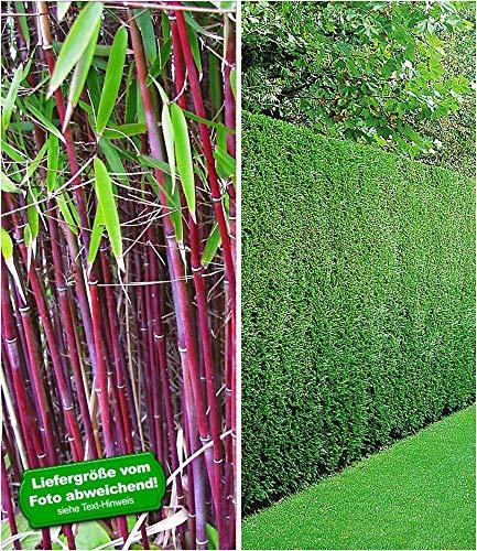BALDUR-Garten Hecken-Kollektion, 3 Pflanzen 1 Pflanze Roter Bambus 'Chinese Wonder' und 2 Pflanzen Leyland-Zypressen-Hecke