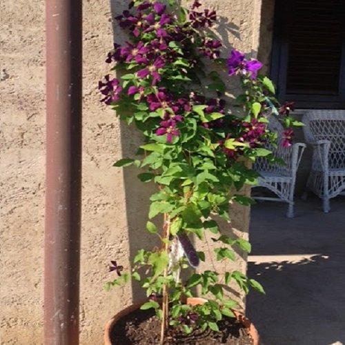Clematis Etoile Violette (Waldrebe) Kletterpflanze - dunkelviolett und Winterhart - 1,5 Liter Topf | ClematisOnline Kletterpflanzen & Blumen