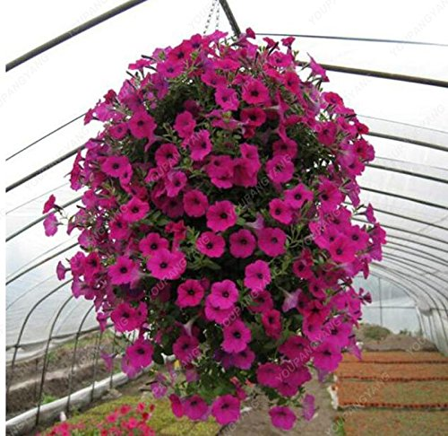 200 graines / sac Petunia Graines d'escalade fleur Pétunia Graines Mix Petunia hybrida maison Jardin Bonsai Plante jaune