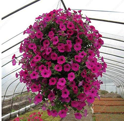 200 Pcs Petunia graines différentes couleurs bonsaïs Graines de fleurs d'ornement Pot de fleurs jardin Plantes prune Livraison gratuite